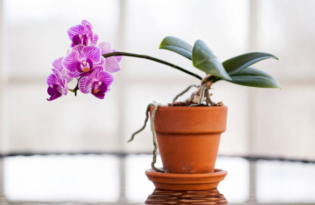 Tipos de Orquídeas Mais Comuns